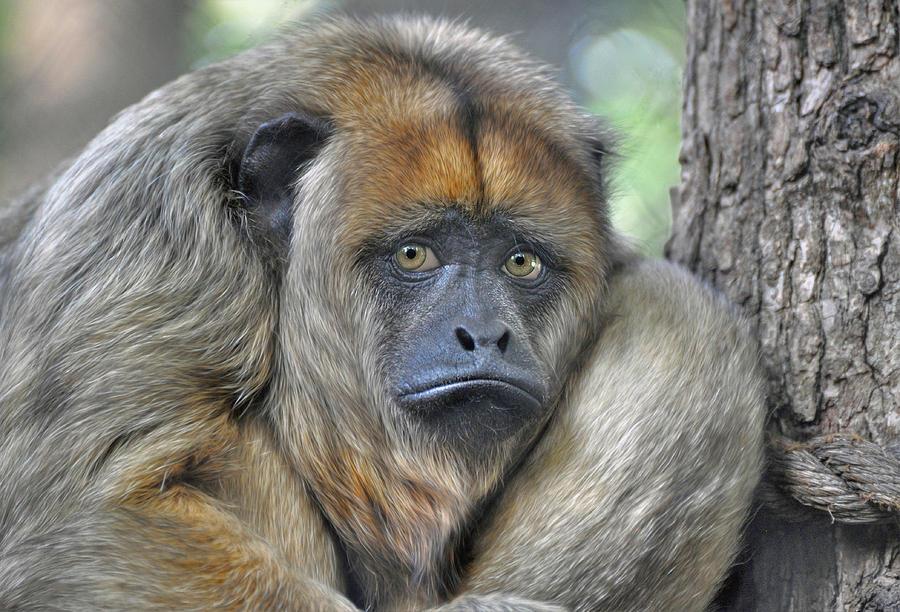 sad-monkey-savannah-gibbs.jpg